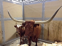Longhorn Cow/Calf